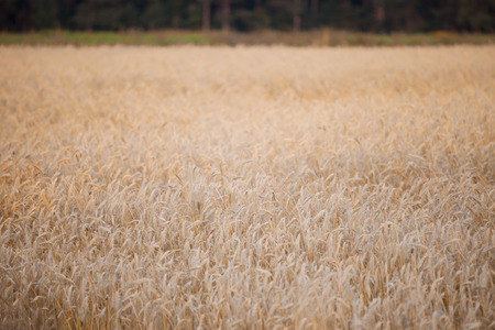 non cultivated: wheat field