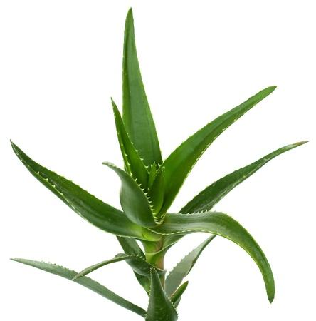Aloe vera isolated on white background photo