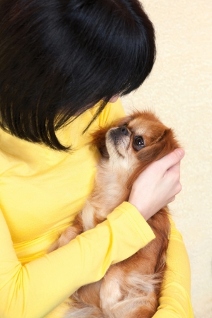 pekingese: Pekingese dog in girls bosom, indoor