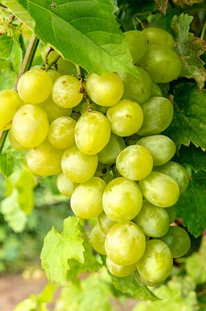 Bunch of white grapes hanging from the vineyard Archivio Fotografico - 126177334