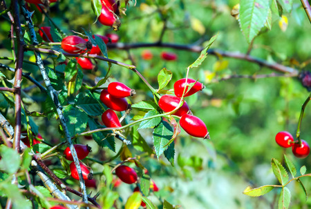 Briar, wild rose hip shrub in the nature Stock Photo