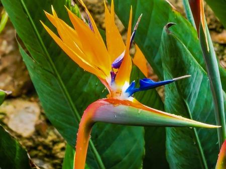 ave del paraiso: Strelitzia flor. P�jaro del para�so en el Taormina, la isla de Sicilia, Italia