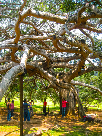 Peradeniya, Sri Lanka - May 2, 2009: The people making photo near Old Giant Tree At Peradeniya Royal Botanical Garden Kandy, Sri Lanka on May 2, 2009. The Botanical Garden Includes More Than 4000 Species Of Plants, Including Of Orchids, Spices, Medicinal