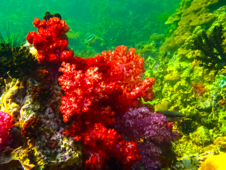 The colorful red coral reef with sea in tropical, underwater.