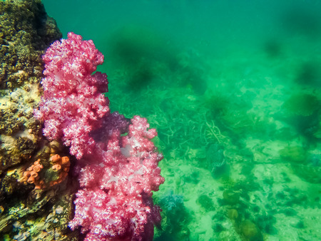 The colorful red coral reef in tropical, underwater.
