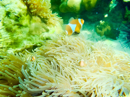 Clown Anemonefish, Amphiprion percula, swimming among the tentacles of its anemone home. Stock Photo