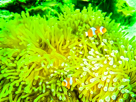 Clown Anemonefish, Amphiprion percula, swimming among the tentac Stock Photo