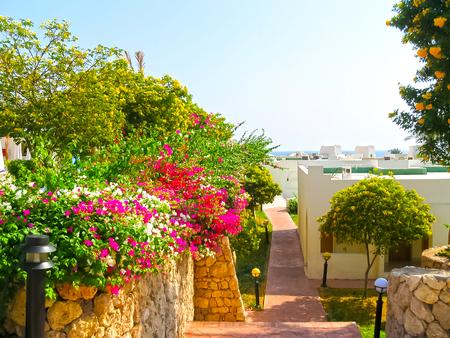 Sharm el Sheikh, Egypt - November 10, 2012: The pink bougainvillea Editorial