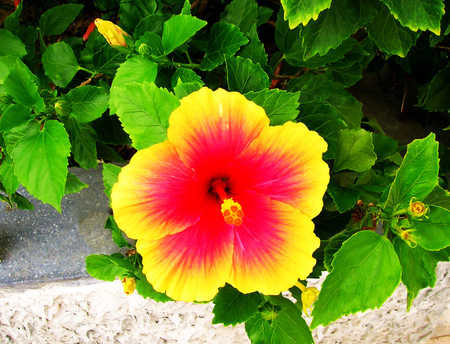 The colorful flower in Thailand