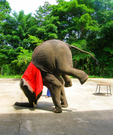 young elephant doing tricks in Thailand Stock Photo