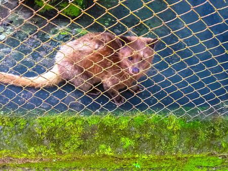 Asian Palm Civet - animal who produce the most expensive coffee Kopi luwak