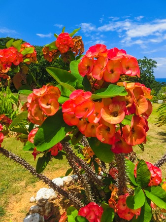 Red and Yellow Flowers in Full Bloom at Falmouth, Jamaica Stock Photo - 106361574