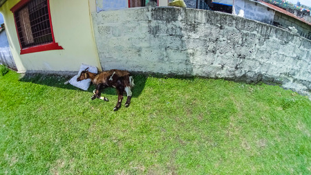 Afternoon siesta - funny and chubby sleeping, relaxing and resting goat at Nepal Stock Photo
