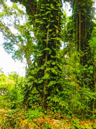 Green natural park landscape scenery at YS Falls, Jamaica, caribbean island
