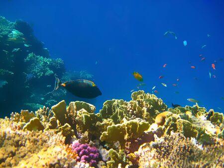 Underwater world. Coral fishes of Red sea. Foto de archivo