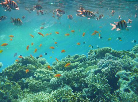 Underwater world. Coral fishes of Red sea. Egypt Archivio Fotografico