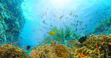 Underwater world. Coral fishes of Red sea. Egypt 版權商用圖片