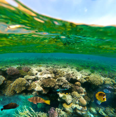 Underwater colorful tropical fishes at coral reef at Red Sea. Blue water in Ras Muhammad National Park in Sinai, Egypt