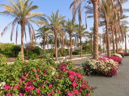 Grassy lawn among palm trees at resort in Egypt. Footpath between green grass in territory of five star hotel.
