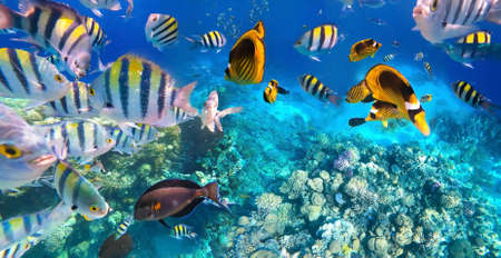 Underwater colorful tropical fishes at coral reef at Red Sea. Blue water in Ras Muhammad National Park in Sinai, Egypt. Stok Fotoğraf