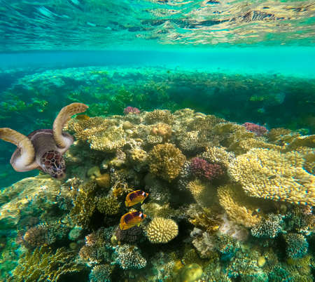 Underwater colorful tropical fishes at coral reef at Red Sea.