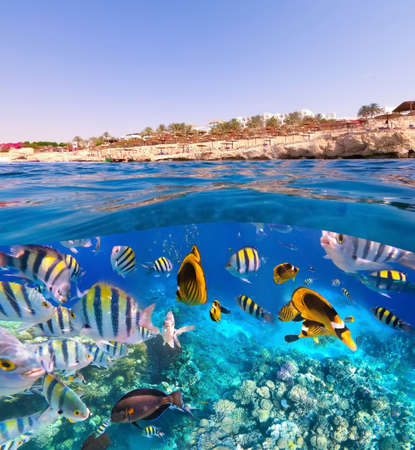 Underwater colorful tropical fishes at coral reef at Red Sea. Banque d'images