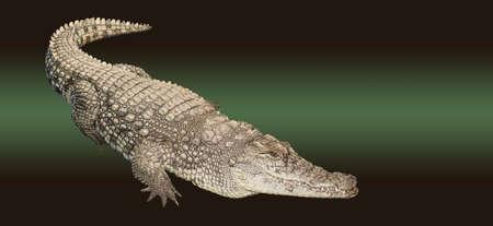 Freshwater nile crocodile isolated on green background