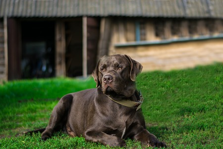 Chocolate labrador portrait lying on the grass