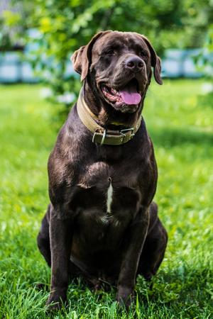 chocolate labrador: Chocolate labrador portrait lying on the grass