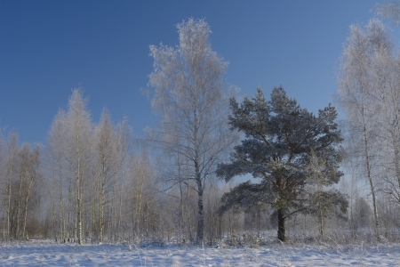Trees in snow-covered forest photo