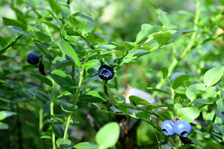 blueberry bushes: Bushes blueberry forest