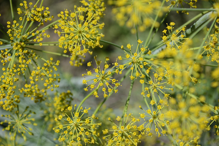 inflorescence: Inflorescence dill Stock Photo