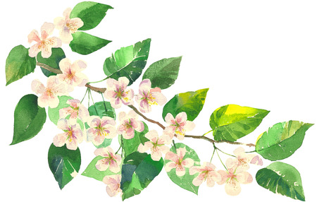 apple blossom: Branch of apple blossom Hand Painted Watercolor Illustration isolated on white background
