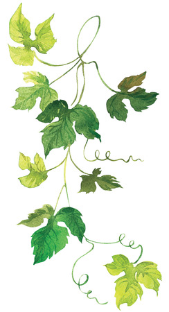 grapes on vine: Grapevine Hand Painted Watercolor Illustration isolated on white background
