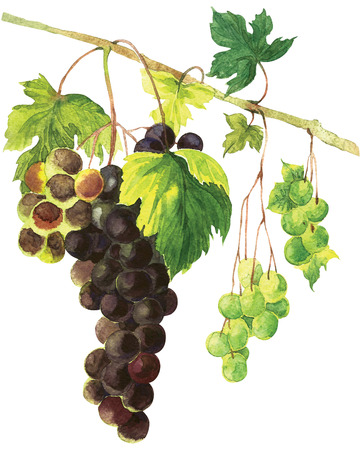 bunch: Bunch of black and green grapes Hand Painted Watercolor Illustration isolated on white background