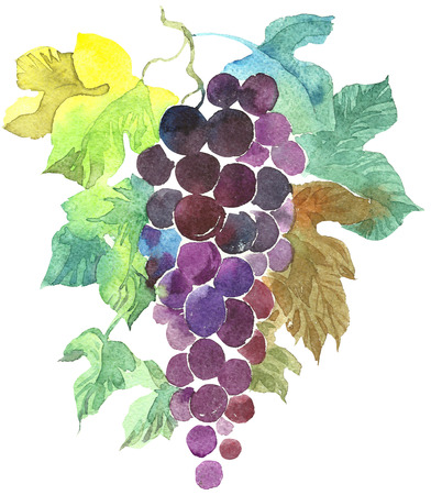 wine grape: Bunch of purple grapes Hand Painted Watercolor Illustration isolated on white background