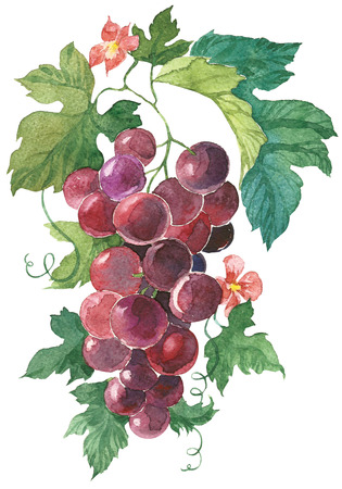 purple grapes: Bunch of purple grapes Hand Painted Watercolor Illustration isolated on white background