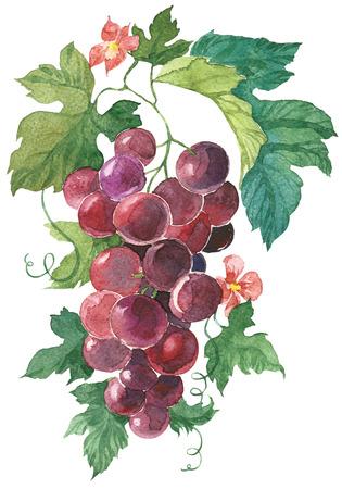 uvas: Racimo de uvas púrpura pintado a mano de la acuarela Ilustración aislada en el fondo blanco
