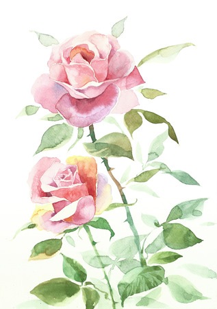 pink rose: Pink Rose Flower Hand Painted Watercolor Illustration isolated on white background