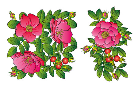 eglantine: Wild rose with pink flowers and fruits vector illustration
