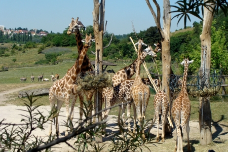 Giraffe family photo