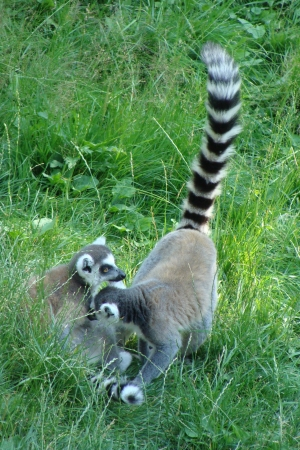 Two ring-tailed funny lemurs photo
