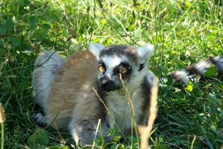 Funny lemur photo