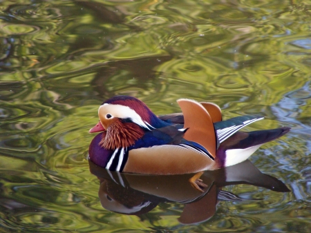 Aix galericulata  Duck floating in a pond         photo