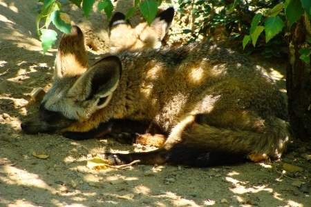 Sleeping Bat-eared Fox Stock Photo - 16607088