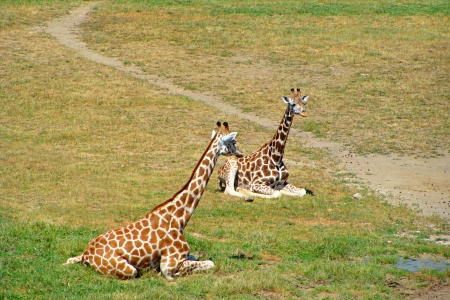 Giraffe Couple photo