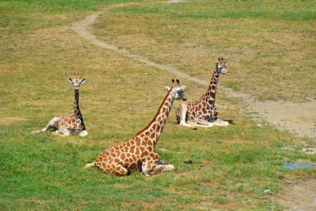 Famille girafe photo