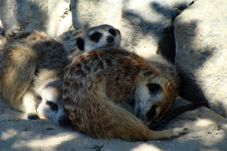 Family of Meerkat photo