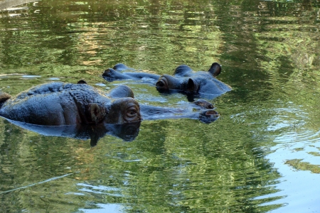 Two hippopotamuses observing from water photo