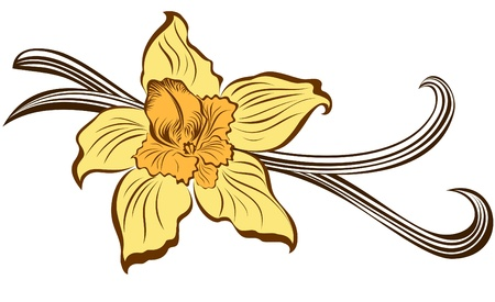 flor de vainilla: Flor de vainilla y vainas de vainilla Vectores